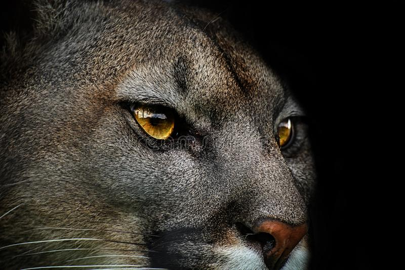 Close-up of cougar, puma - danger animal. Close-up of cougar. Detail portrait american puma. Poster from life of animals royalty free stock photo
