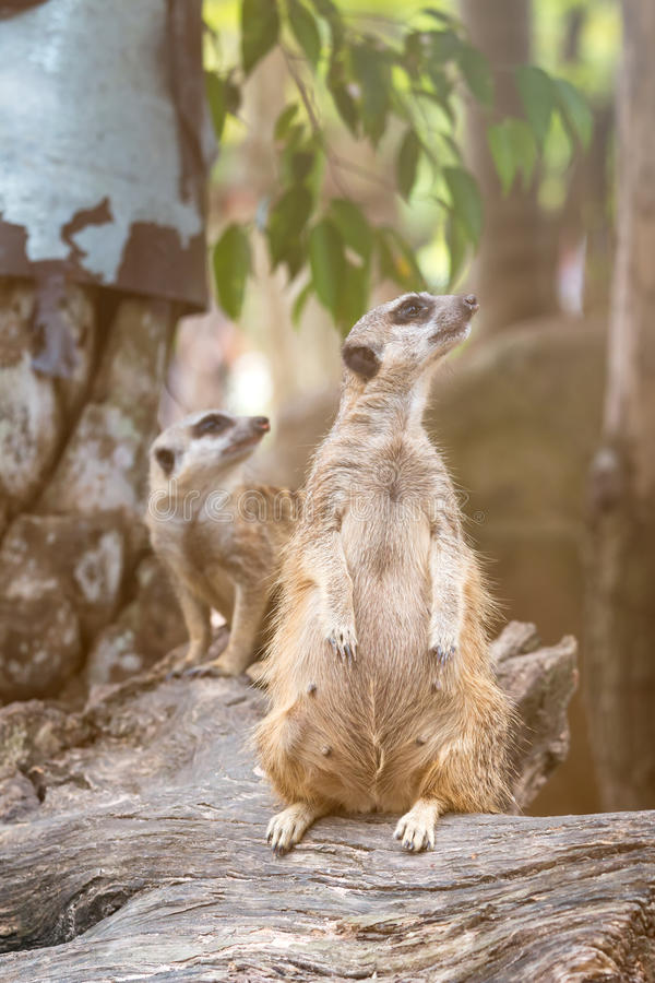Close up of couple meerkats standing over stump and looking a survey for drove stock photography