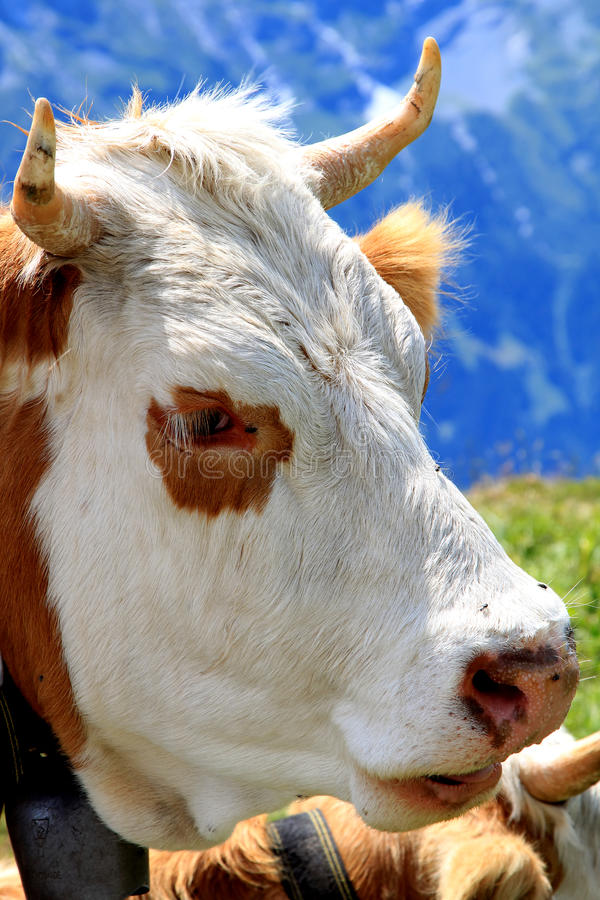 Close-up cow head in the Swiss mountains stock photos
