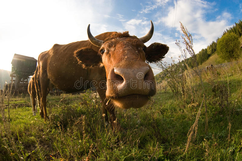 A close up of a cow's head. stock images