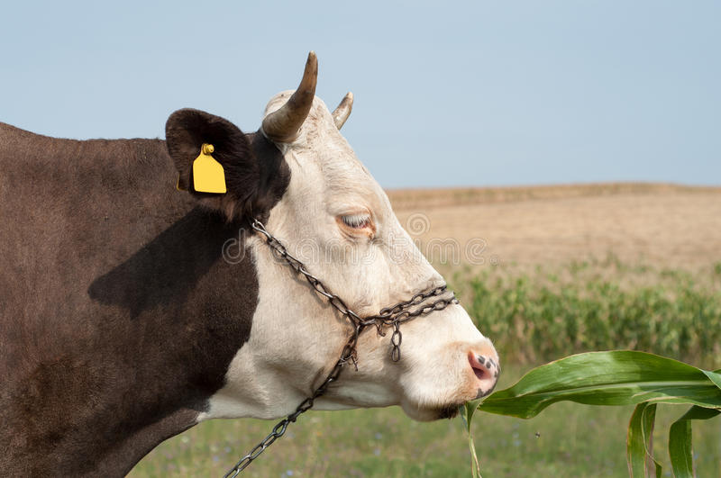 Close up of a cow's head, she is eating some corn leaf royalty free stock image