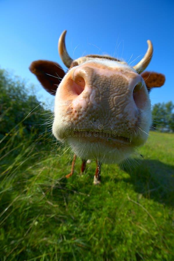 Free Close-up Cow S Mug Stock Images - 7432004