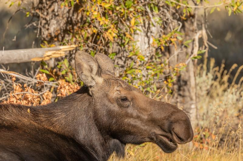 Cow Shiras Moose Close Up. A close up of a cow shiras moose in fall in Wyoming stock photography