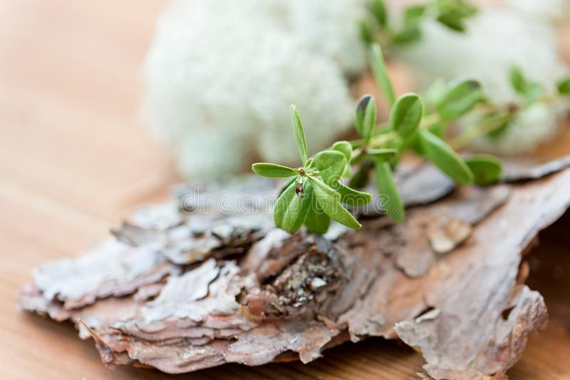Close up of cowberry plant and pine tree bark stock photos