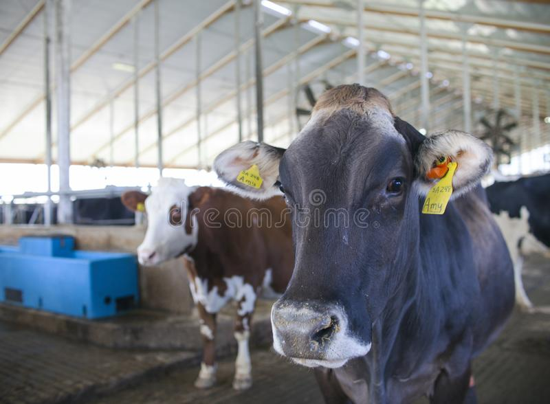 Close-up of cows with tags at dairy farm royalty free stock photography