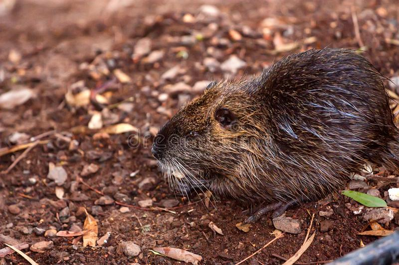 Coypu river rat nutria known as Myocastor coypus stock photo