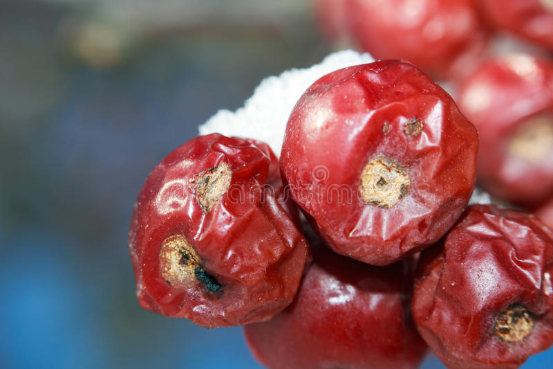 Close up of crab apples royalty free stock photography