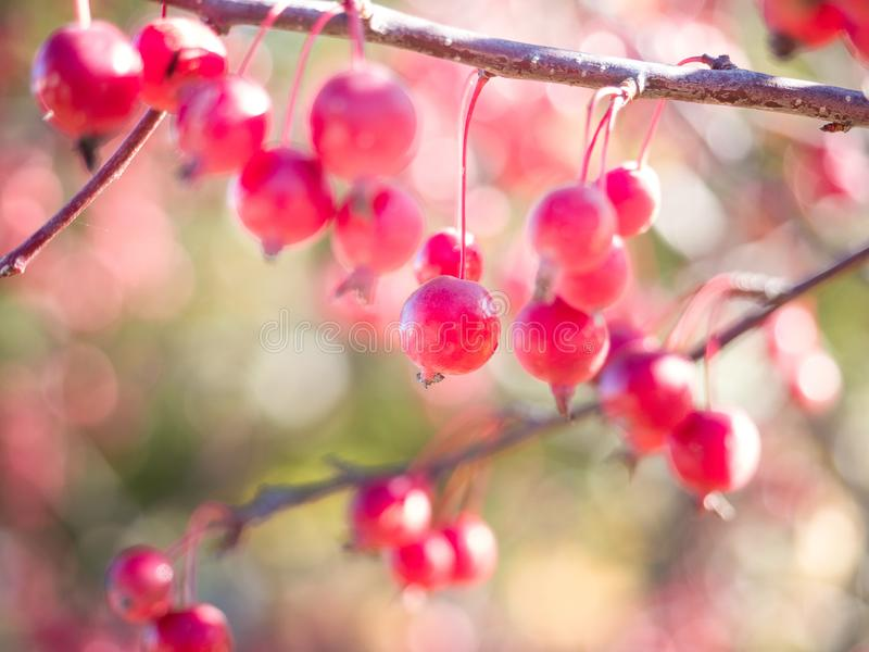 Close up of crab apples on tree in autumn stock images