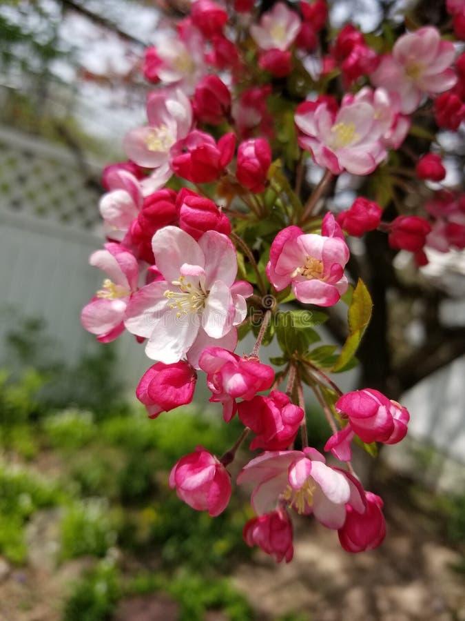 Close up of Crabapple Tree Blossom stock image