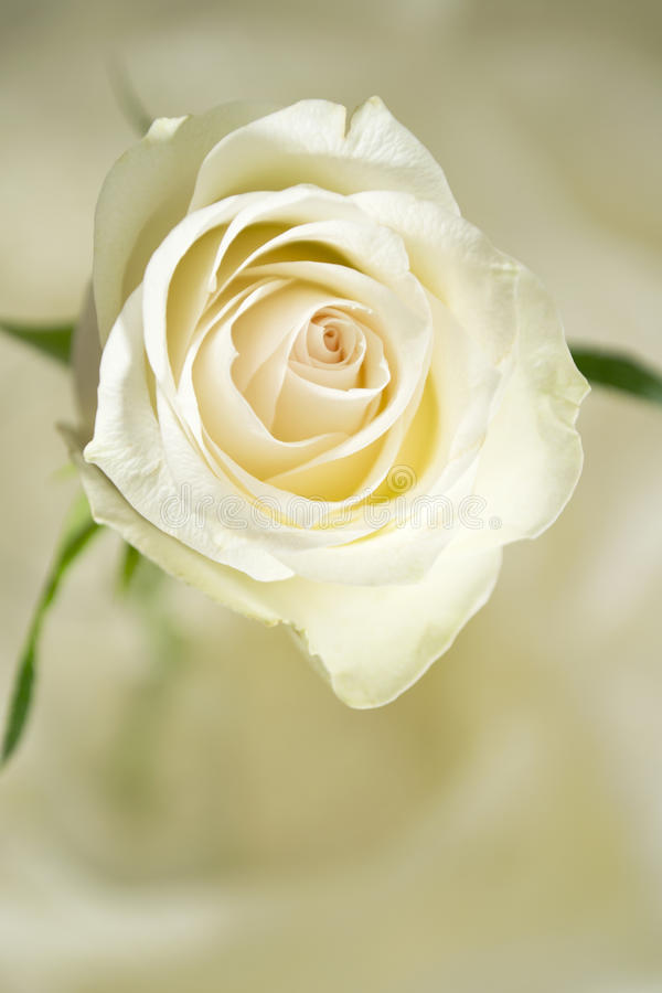 Rose cream colored stock images
