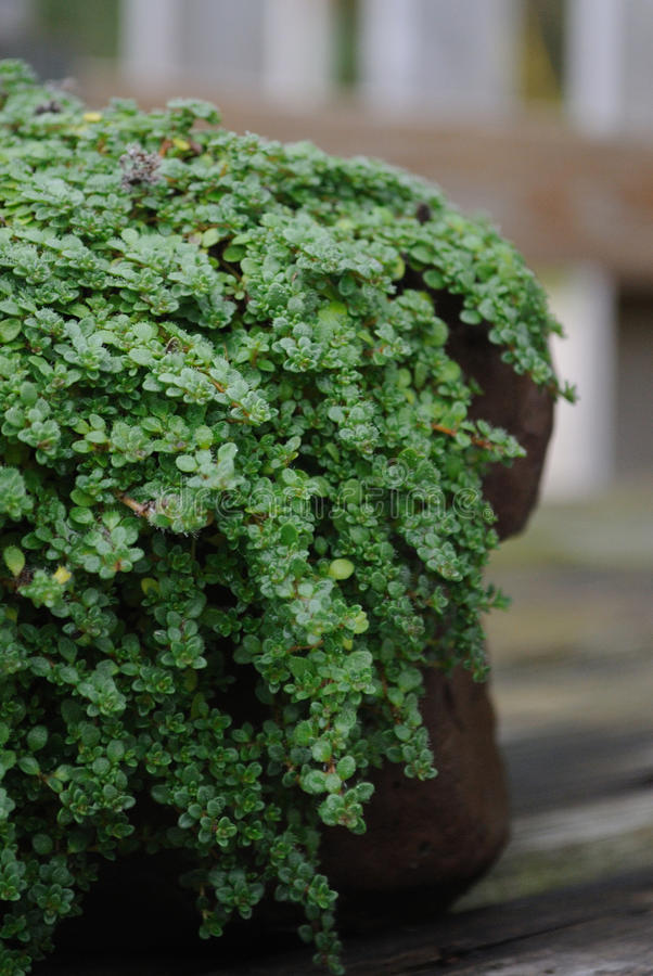 Download Close-up Of Creeping Thyme Groundcover Plant Stock Image - Image: 22887955
