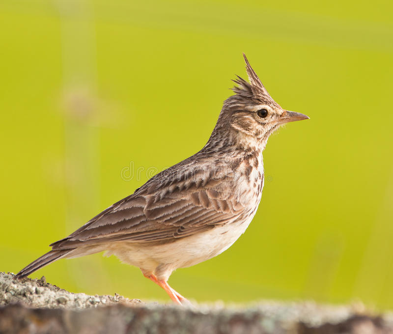 Close-up of a Crested Lark. A close-up of a beautiful Crested Lark (Galerida cristata) shows all the details of it´s body