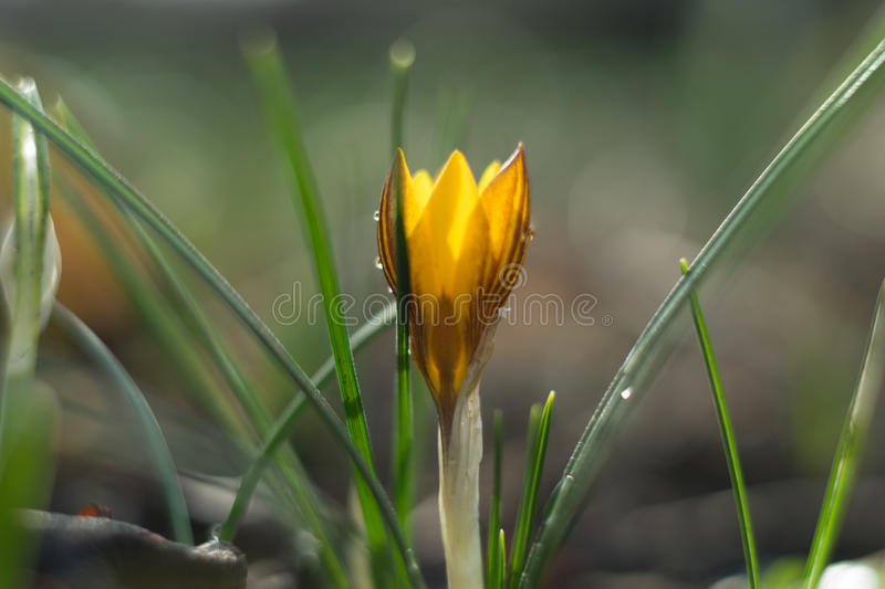 Close up of a Crocus. Crocusses in the middle of winter, first sings of the approaching spring stock image