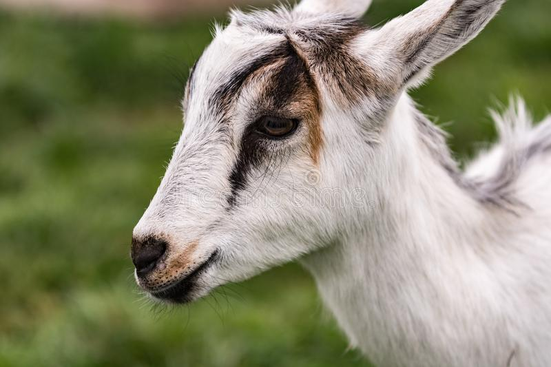 Close up of crossbred goat kid. Close up of a crossbred dairy goat kid with green out of focus background royalty free stock images