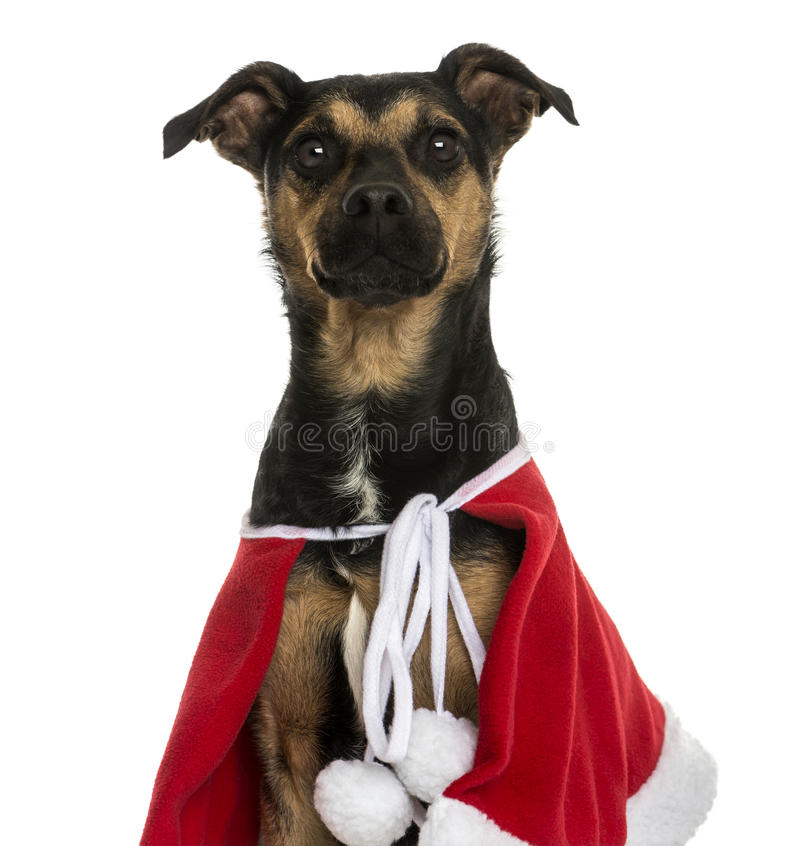 Close-up of a Crossbreed dog wearing a christmas cape, isolated royalty free stock photo