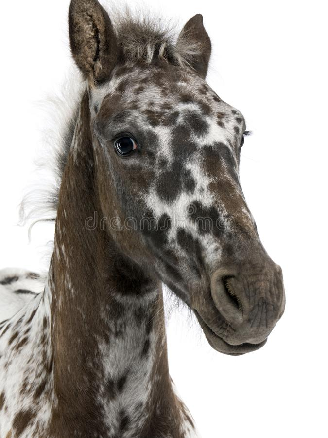 Close-up of a Crossbreed Foal between a Appaloosa and a Friesian horse, 3 months old royalty free stock image