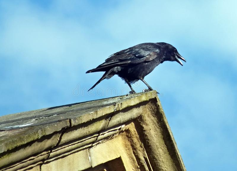 A close up of a crow perched on the top of a stone roof with its beak open calling out in bright sunlight with bright blue sky and. White clouds stock images