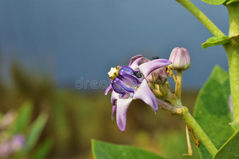 Close-up Crown flower Calotropis Gigantea, beautiful purple flower blossom on tree with green nature blurred background, other royalty free stock image