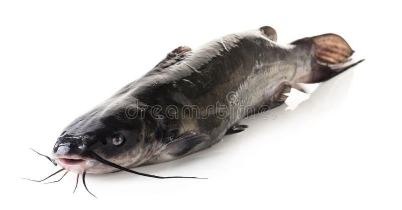 Close-up cru do peixe-gato foto de stock royalty free
