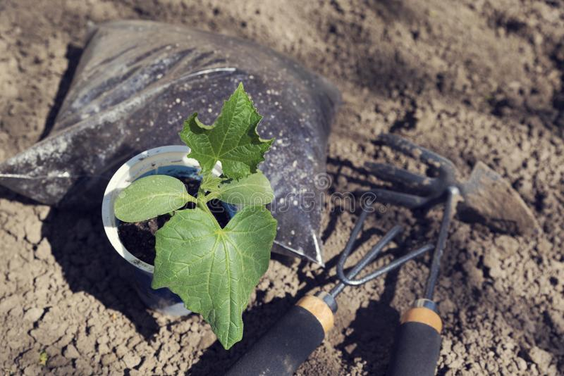 Close up of cucumber seedlings fertilizer and gardening tools. Spring time. Activity. Close up. From above Horizontal image. No people royalty free stock images