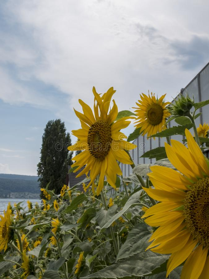 Close up of cultivation of sunflowers stock photos