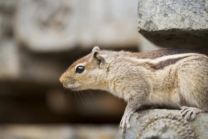 Download Close Up Of A Curious Brown Indian Squirrel Stock Photography - Image: 26624172