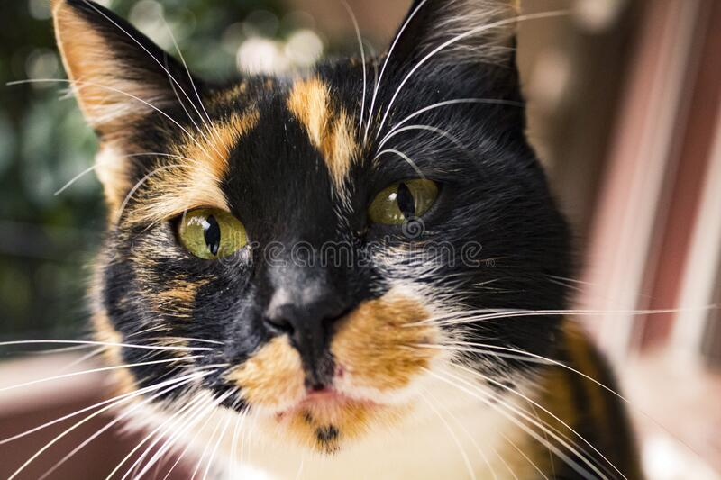Curious tortoise shell cat looking into the lens. Close up of a curious calico cat staring into the lens stock image