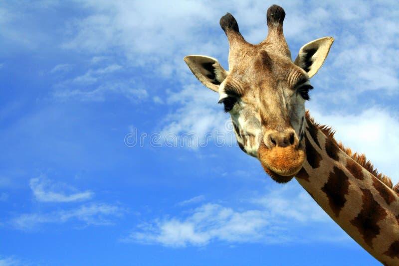 Close Up Of A Curious Giraffe Over Blue Sky Stock Image