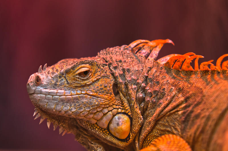 Close-up of curious Iguana reptile. Close-up portrait of curious Iguana reptile royalty free stock photography