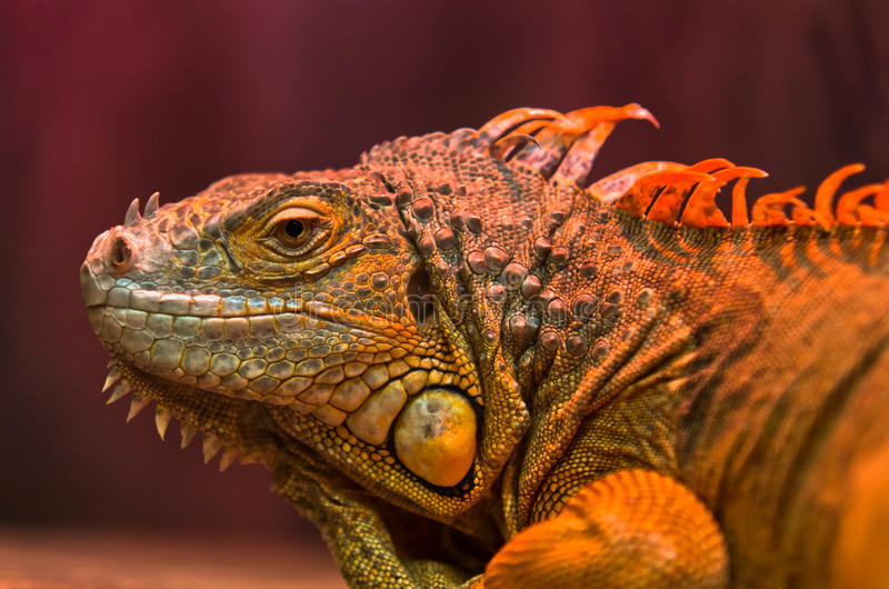 Close-up of curious Iguana reptile. Close-up portrait of curious Iguana reptile royalty free stock images