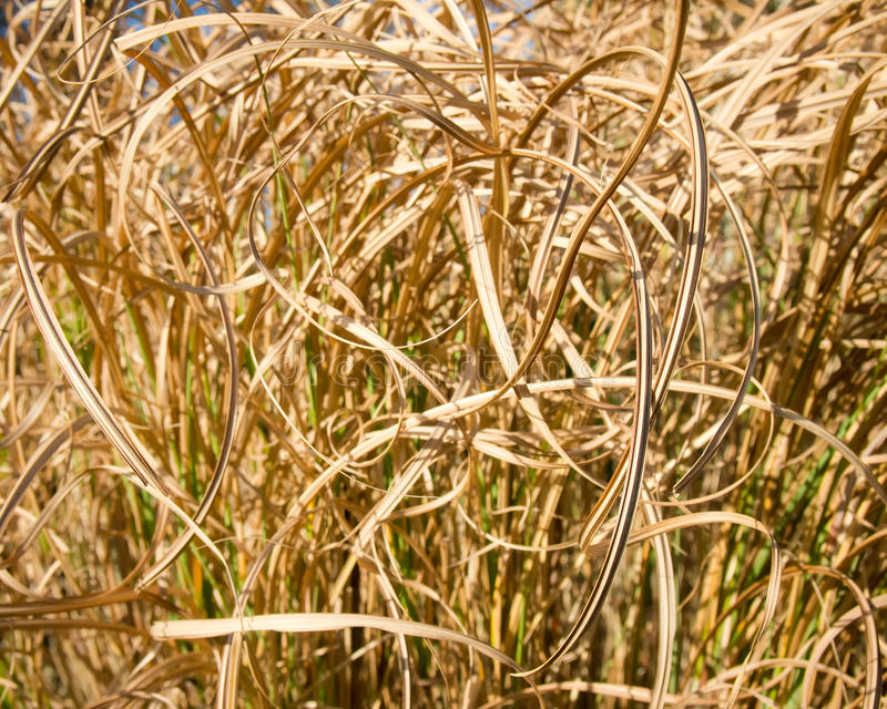 A close up of curled dried reeds. A background of dried reeds stock image