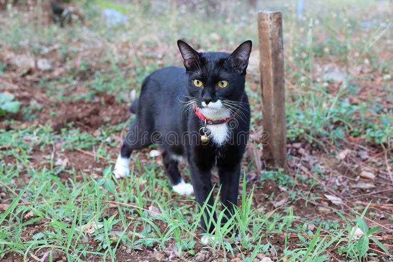 Close up, cute black cat walking in the garden stock image