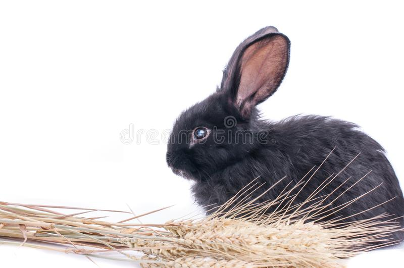Close-up of cute black rabbit of white background royalty free stock photo