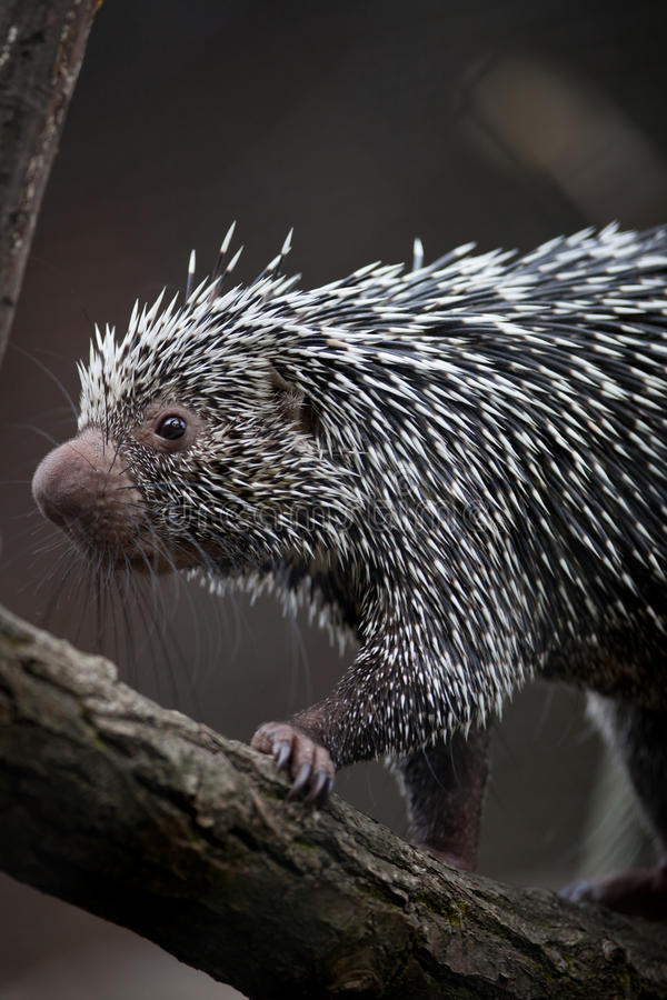 Close-up of a cute Brazilian Porcupine royalty free stock photos