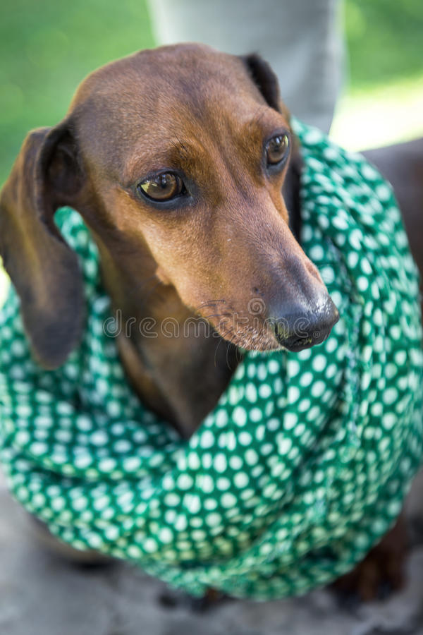 Close-up of cute brown dachshund royalty free stock image