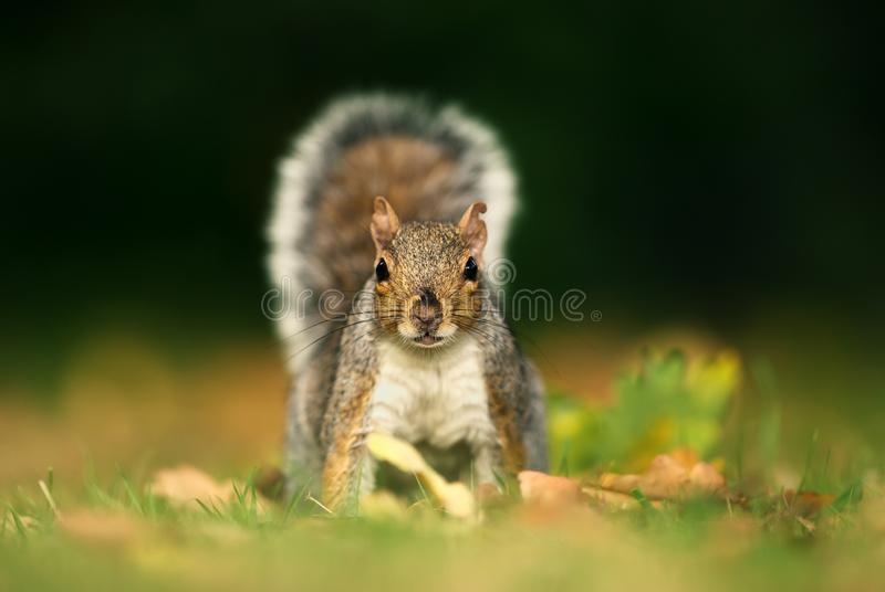 Close up of a cute and curious grey squirrel in urban park royalty free stock photos
