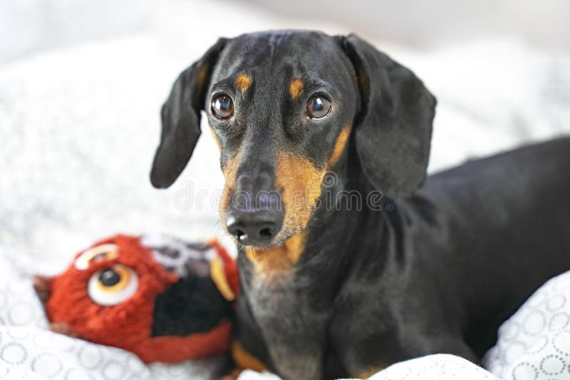 Close up cute dachshund dog playing with his toy on the bed royalty free stock photo