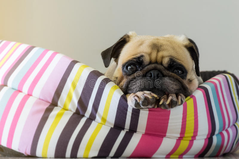 Close-up cute dog Pug puppy resting on her bed and watching to camera stock photo