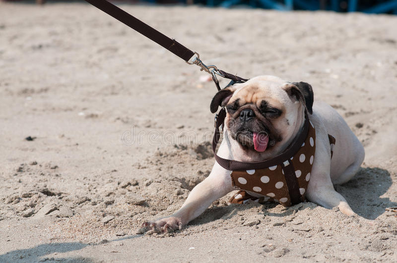 Download Close-up Cute Dog Pug Wink Eye Fear And Afraid Water Sea Beach When People Try To Pull Pug To Play Swim On Sand Stock Image - Image of grab, cord: 58685601
