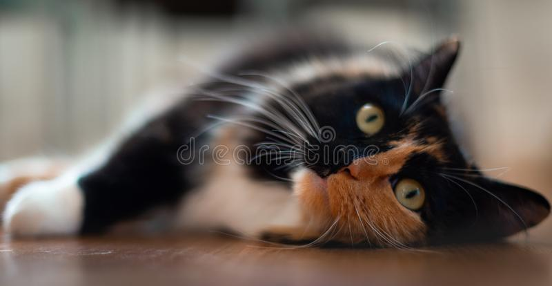 A close up of a cute female Ragdoll on a wooden floor royalty free stock photo