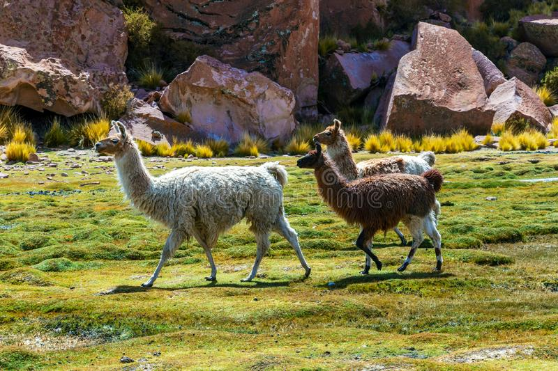 Close up of cute and funny Alpacas kept in herds that graze on the level heights of the Andes of Bolivia. Close up of cute and funny Alpacas, Andes of Bolivia stock photos