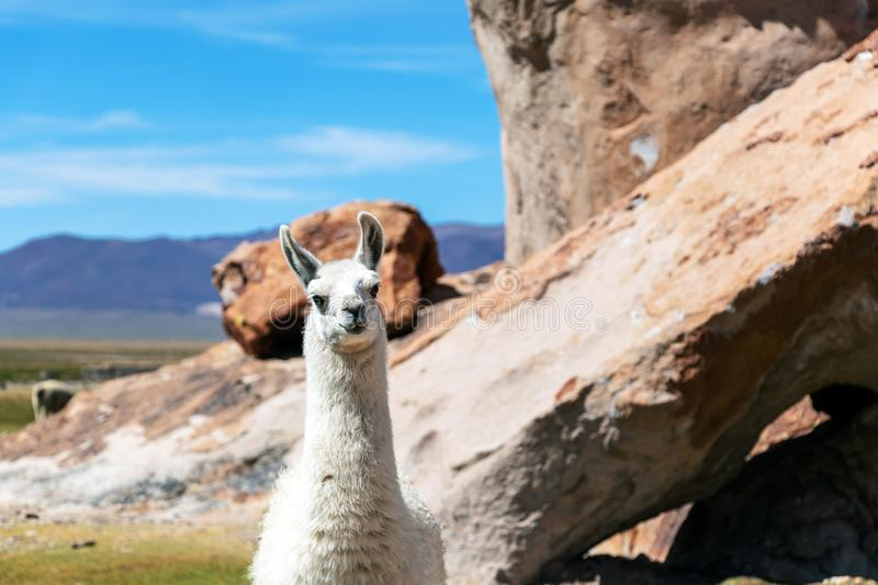 Close up of cute and funny Alpacas kept in herds that graze on the level heights of the Andes of Bolivia. Close up of cute and funny Alpacas, Andes of Bolivia royalty free stock images