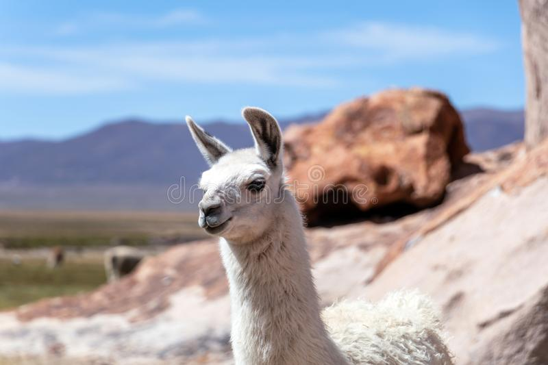 Close up of cute and funny Alpacas, Andes of Bolivia, South America. Close up of cute and funny Alpacas kept in herds that graze on the level heights of the royalty free stock photography