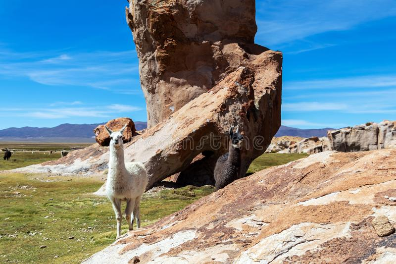 Close up of cute and funny Alpacas, Andes of Bolivia, South America. Close up of cute and funny Alpacas kept in herds that graze on the level heights of the stock photos