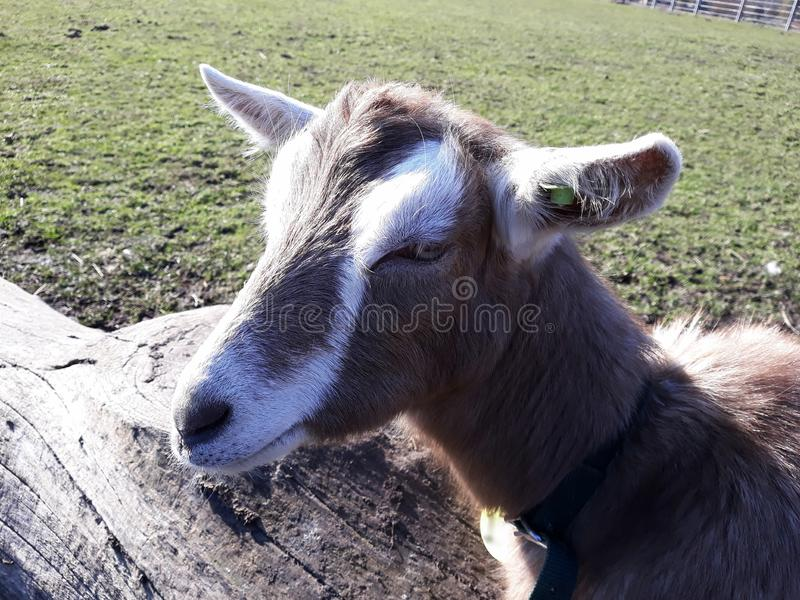 Close up of a cute goat. royalty free stock photo