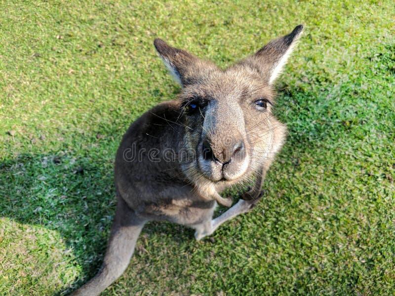 Close up Cute Kangaroo looking at the camera stock images