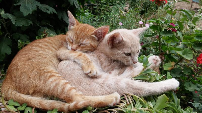 Close up of a cute lazy sleeping cats. Kittens sleeping happily in funny position in the garden. Close up of a cute lazy cats falling asleep. Hugged kittens stock image