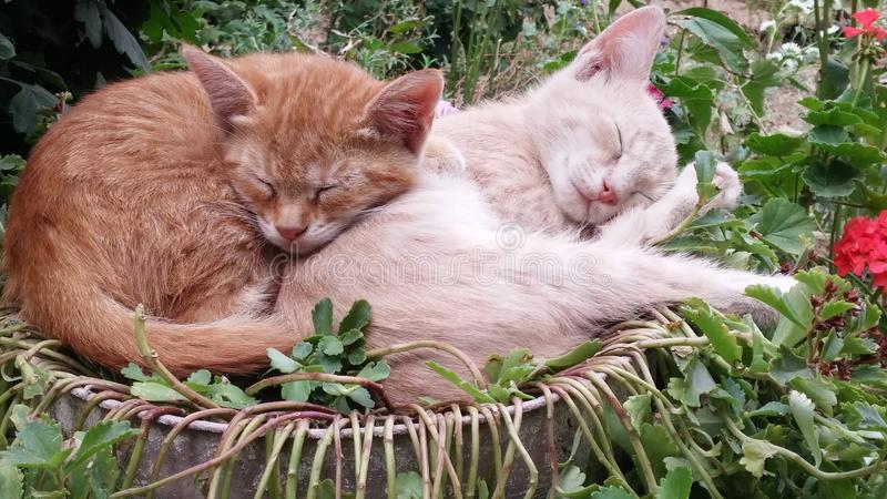Close up of a cute lazy sleeping cats. Kittens sleeping happily in funny position in the garden. Close up of a cute lazy sleeping cats. Cat`s sleeping habits stock photography