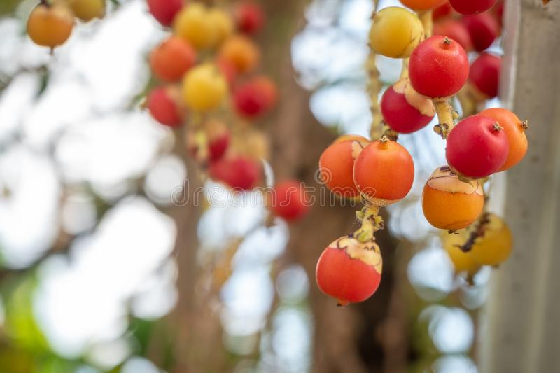 Close-up of cute little red, yellow and orange berries of acacia on blurred background royalty free stock photos