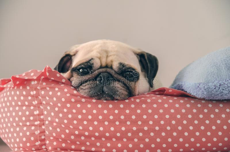 Close-up cute Pug dog puppy sleep resting on her bed and watching to camera royalty free stock photography